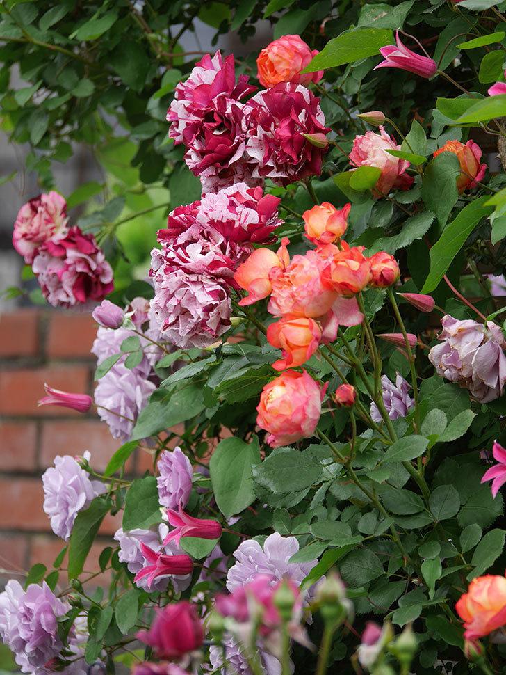 ソレイユロマンティカ(Soleil Romantica)の花がたくさん咲いた。ツルバラ。2021年-215.jpg