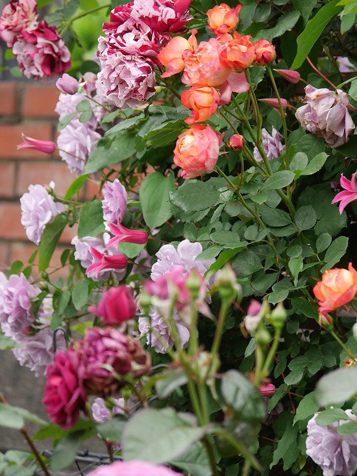 ソレイユロマンティカ(Soleil Romantica)の花がたくさん咲いた。ツルバラ。2021年-216.jpg