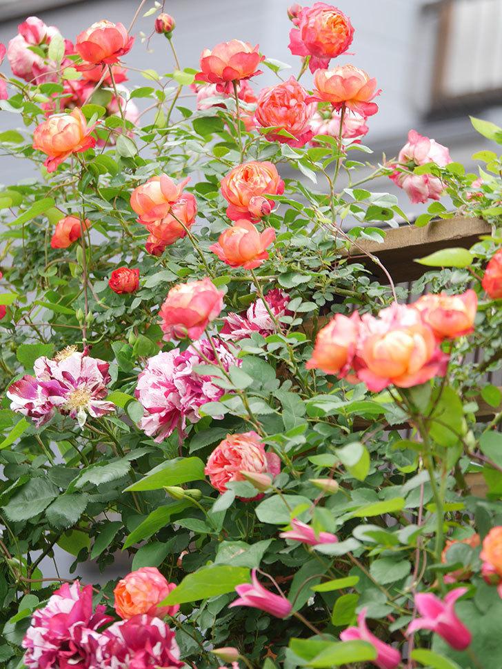 ソレイユロマンティカ(Soleil Romantica)の花がたくさん咲いた。ツルバラ。2021年-217.jpg