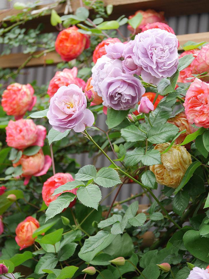 ソレイユロマンティカ(Soleil Romantica)の花がたくさん咲いた。ツルバラ。2021年-218.jpg
