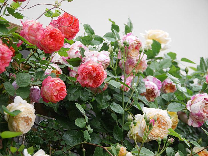 ソレイユロマンティカ(Soleil Romantica)の花がたくさん咲いた。ツルバラ。2021年-219.jpg
