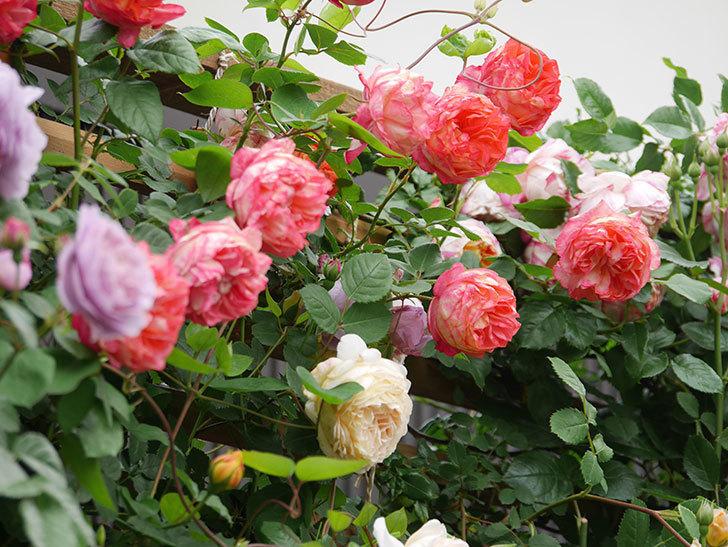 ソレイユロマンティカ(Soleil Romantica)の花がたくさん咲いた。ツルバラ。2021年-220.jpg