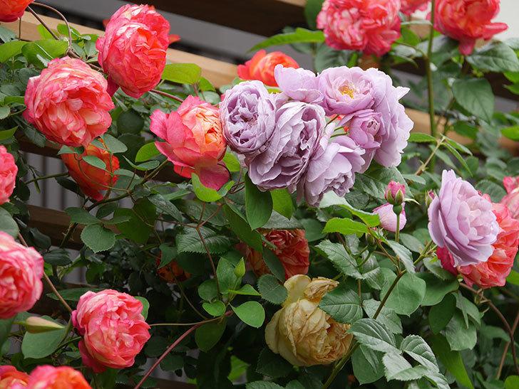 ソレイユロマンティカ(Soleil Romantica)の花がたくさん咲いた。ツルバラ。2021年-221.jpg