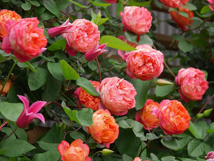 ソレイユロマンティカ(Soleil Romantica)の花がたくさん咲いた。ツルバラ。2021年-222.jpg