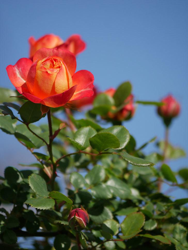 ソレイユロマンティカ(Soleil Romantica)の花が咲いた。ツルバラ。2021年-031.jpg