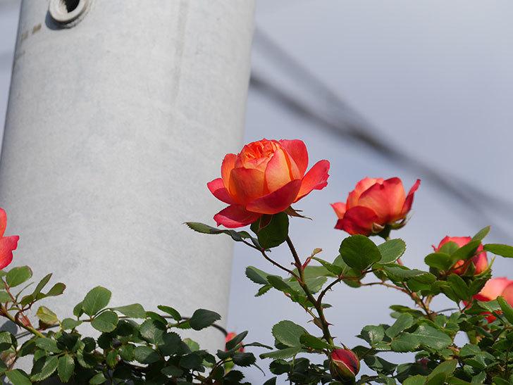 ソレイユロマンティカ(Soleil Romantica)の花が増えてきた。ツルバラ。2021年-004.jpg