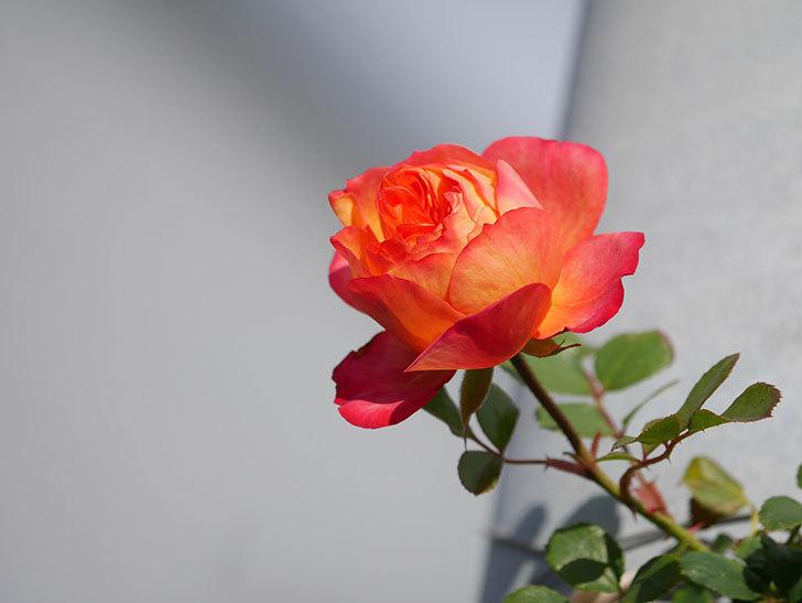 ソレイユロマンティカ(Soleil Romantica)の花が増えてきた。ツルバラ。2021年-005.jpg