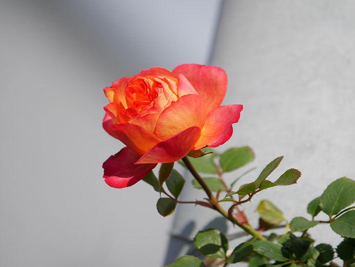 ソレイユロマンティカ(Soleil Romantica)の花が増えてきた。ツルバラ。2021年-006.jpg
