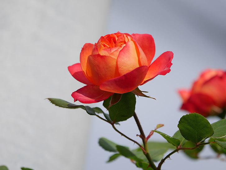 ソレイユロマンティカ(Soleil Romantica)の花が増えてきた。ツルバラ。2021年-007.jpg