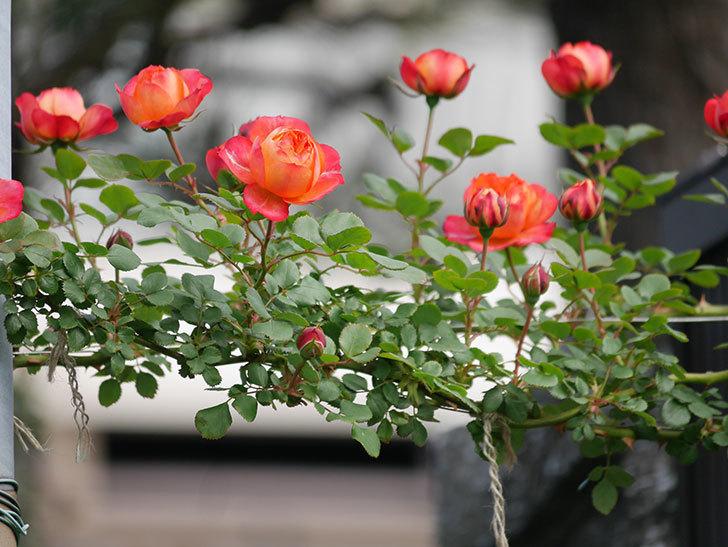 ソレイユロマンティカ(Soleil Romantica)の花が増えてきた。ツルバラ。2021年-008.jpg
