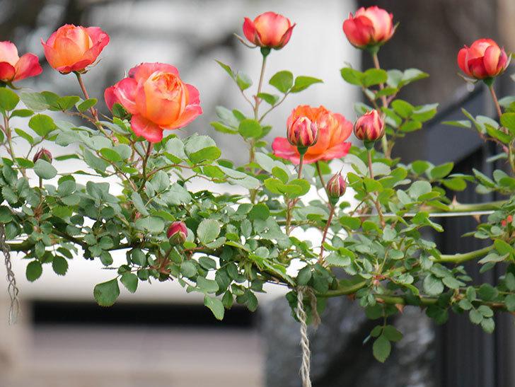 ソレイユロマンティカ(Soleil Romantica)の花が増えてきた。ツルバラ。2021年-009.jpg