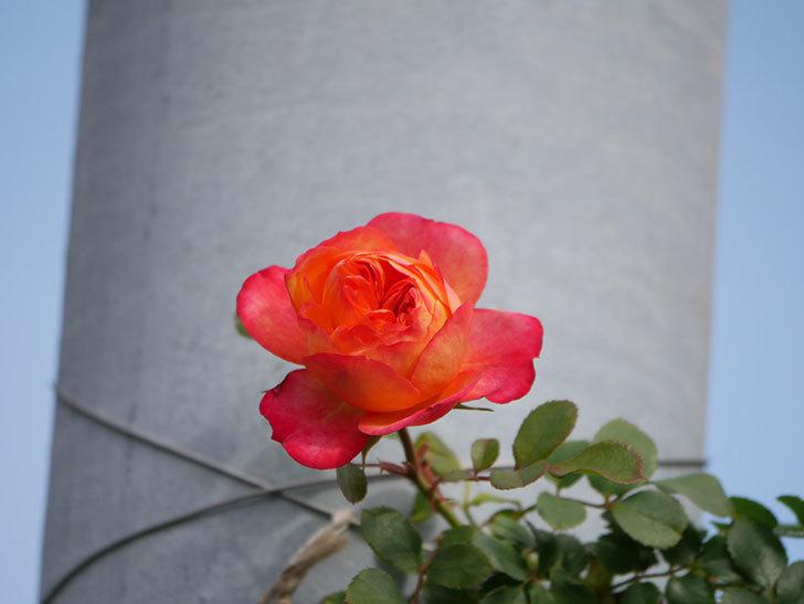 ソレイユロマンティカ(Soleil Romantica)の花が増えてきた。ツルバラ。2021年-011.jpg