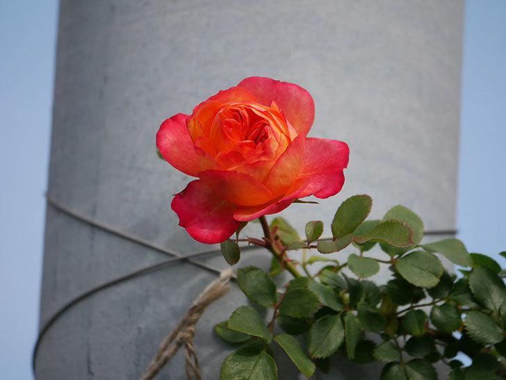 ソレイユロマンティカ(Soleil Romantica)の花が増えてきた。ツルバラ。2021年-012.jpg