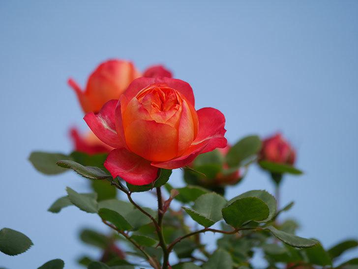 ソレイユロマンティカ(Soleil Romantica)の花が増えてきた。ツルバラ。2021年-013.jpg