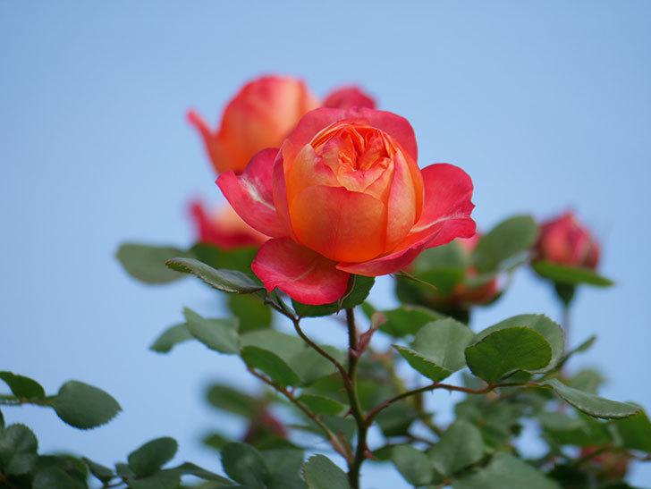 ソレイユロマンティカ(Soleil Romantica)の花が増えてきた。ツルバラ。2021年-014.jpg