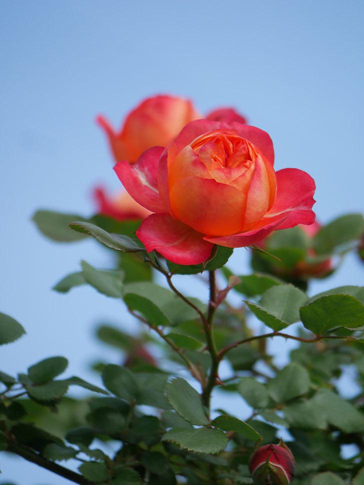 ソレイユロマンティカ(Soleil Romantica)の花が増えてきた。ツルバラ。2021年-015.jpg