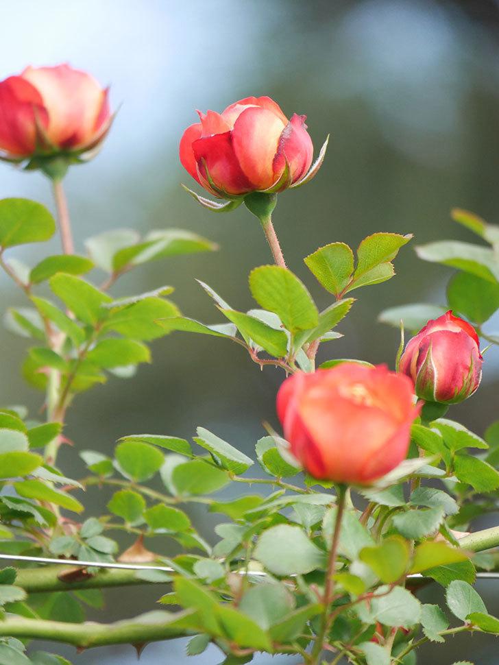 ソレイユロマンティカ(Soleil Romantica)の花が増えてきた。ツルバラ。2021年-016.jpg