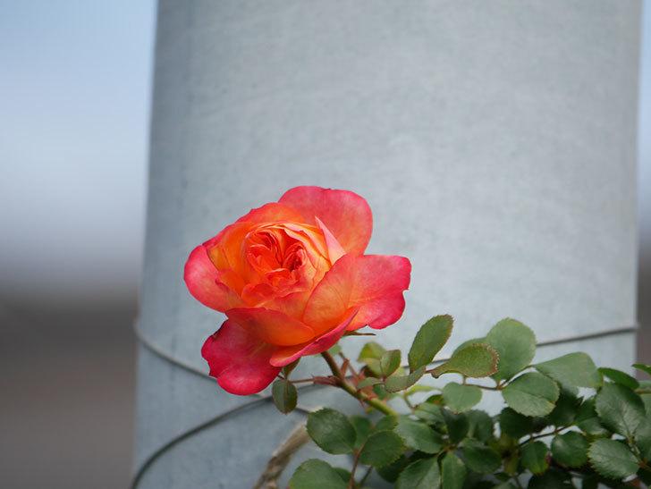 ソレイユロマンティカ(Soleil Romantica)の花が増えてきた。ツルバラ。2021年-020.jpg