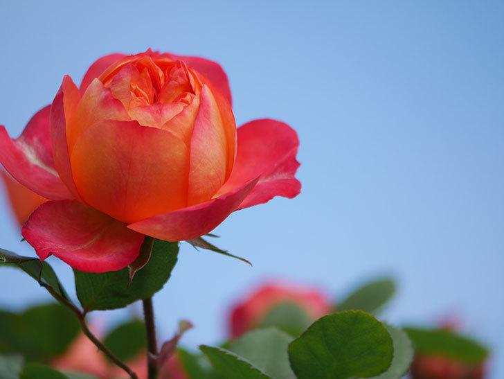 ソレイユロマンティカ(Soleil Romantica)の花が増えてきた。ツルバラ。2021年-021.jpg