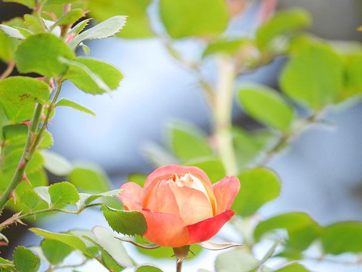 ソレイユロマンティカ(Soleil Romantica)の花が増えてきた。ツルバラ。2021年-022.jpg