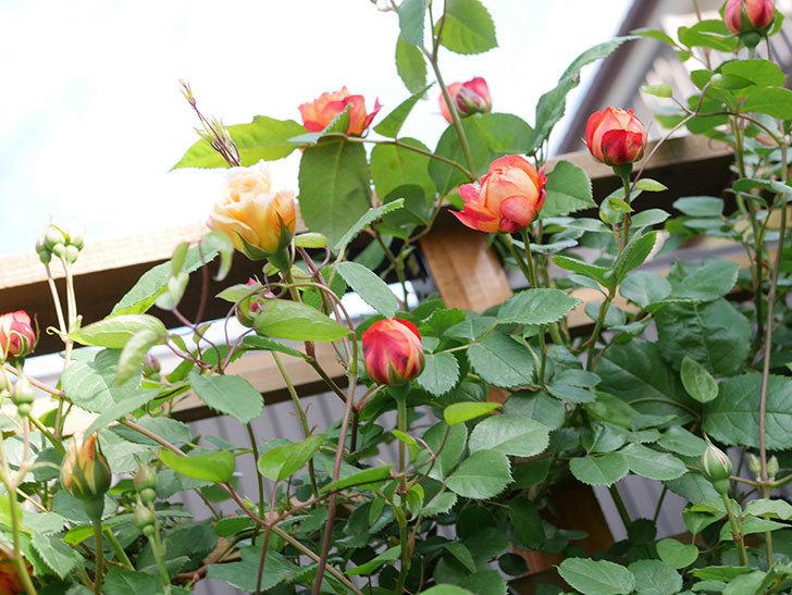 ソレイユロマンティカ(Soleil Romantica)の花が増えてきた。ツルバラ。2021年-023.jpg