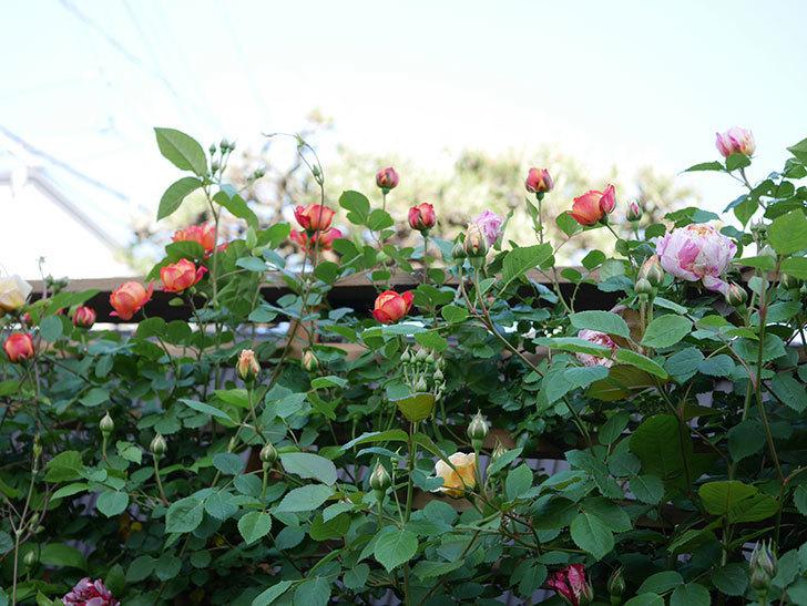 ソレイユロマンティカ(Soleil Romantica)の花が増えてきた。ツルバラ。2021年-024.jpg