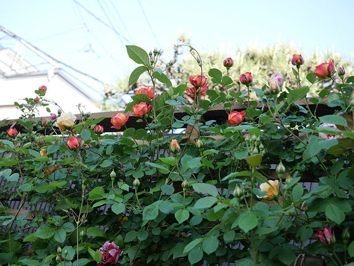 ソレイユロマンティカ(Soleil Romantica)の花が増えてきた。ツルバラ。2021年-025.jpg