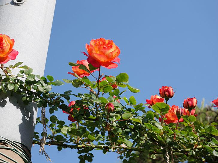 ソレイユロマンティカ(Soleil Romantica)の花が増えてきた。ツルバラ。2021年-026.jpg