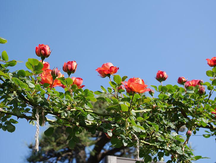 ソレイユロマンティカ(Soleil Romantica)の花が増えてきた。ツルバラ。2021年-027.jpg