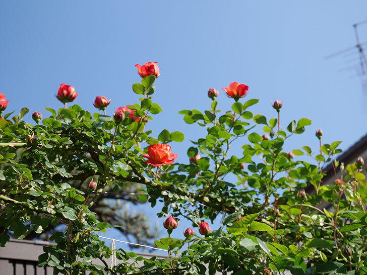 ソレイユロマンティカ(Soleil Romantica)の花が増えてきた。ツルバラ。2021年-028.jpg