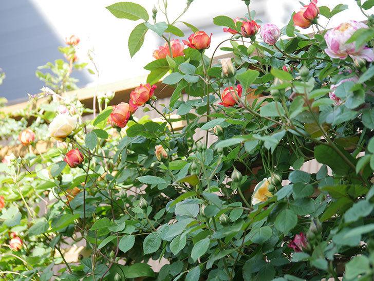 ソレイユロマンティカ(Soleil Romantica)の花が増えてきた。ツルバラ。2021年-029.jpg