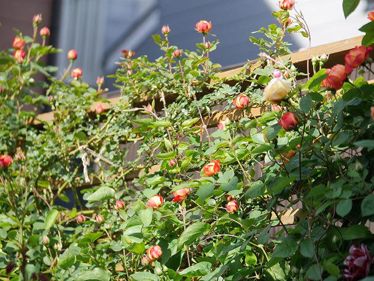 ソレイユロマンティカ(Soleil Romantica)の花が増えてきた。ツルバラ。2021年-030.jpg