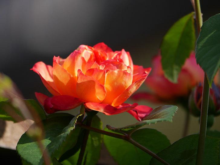 ソレイユロマンティカ(Soleil Romantica)の花が増えてきた。ツルバラ。2021年-039.jpg