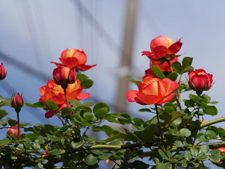 ソレイユロマンティカ(Soleil Romantica)の花が増えてきた。ツルバラ。2021年-043.jpg
