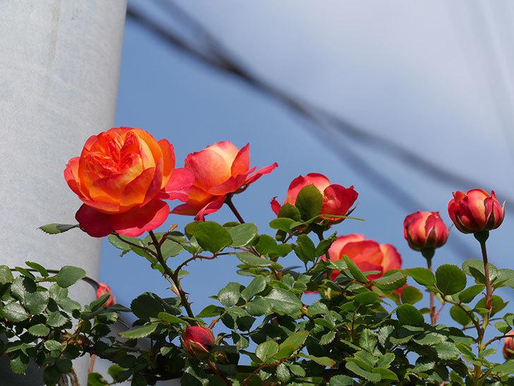 ソレイユロマンティカ(Soleil Romantica)の花が増えてきた。ツルバラ。2021年-044.jpg