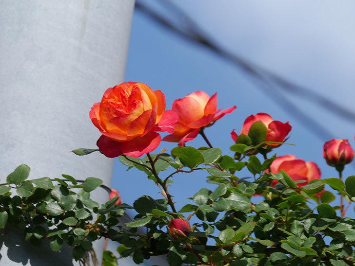ソレイユロマンティカ(Soleil Romantica)の花が増えてきた。ツルバラ。2021年-045.jpg