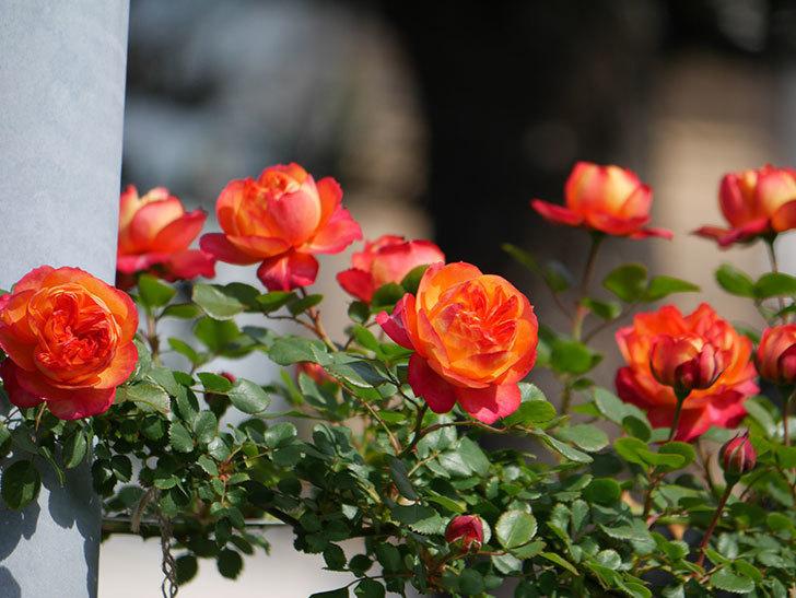 ソレイユロマンティカ(Soleil Romantica)の花が増えてきた。ツルバラ。2021年-046.jpg