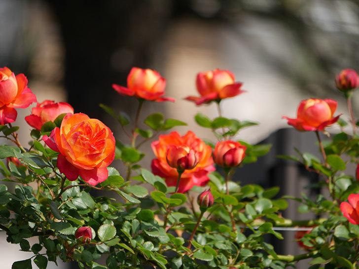 ソレイユロマンティカ(Soleil Romantica)の花が増えてきた。ツルバラ。2021年-047.jpg