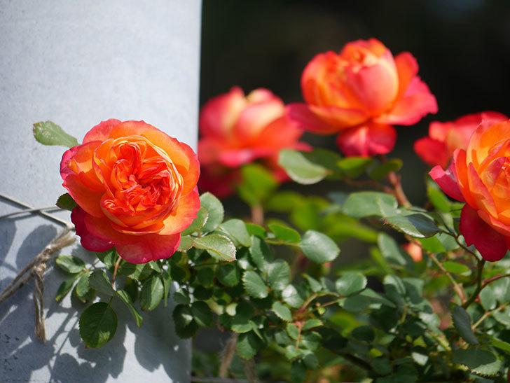 ソレイユロマンティカ(Soleil Romantica)の花が増えてきた。ツルバラ。2021年-049.jpg