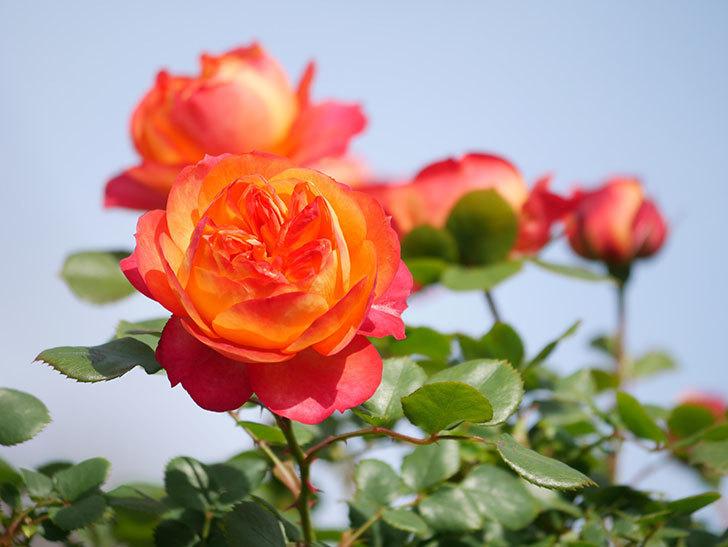 ソレイユロマンティカ(Soleil Romantica)の花が増えてきた。ツルバラ。2021年-050.jpg