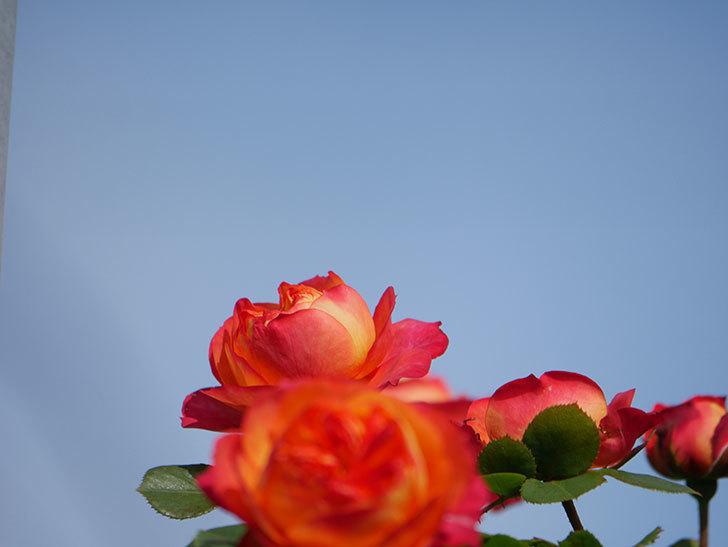 ソレイユロマンティカ(Soleil Romantica)の花が増えてきた。ツルバラ。2021年-051.jpg