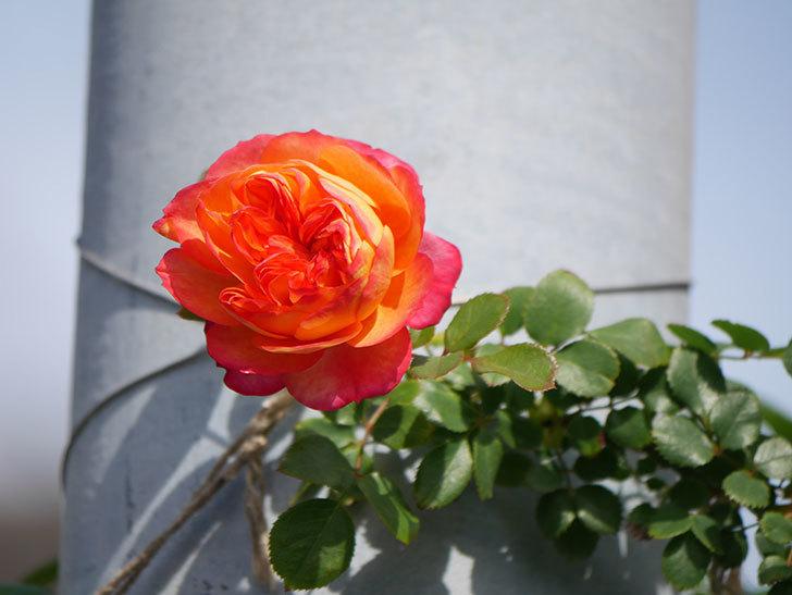 ソレイユロマンティカ(Soleil Romantica)の花が増えてきた。ツルバラ。2021年-052.jpg
