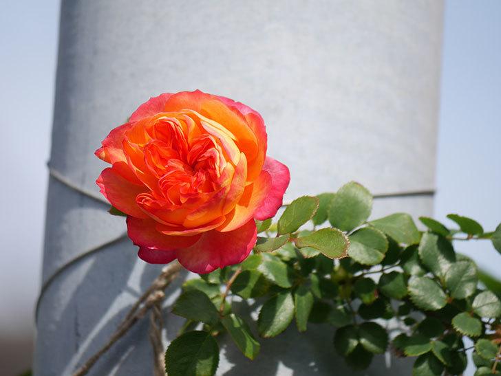 ソレイユロマンティカ(Soleil Romantica)の花が増えてきた。ツルバラ。2021年-053.jpg