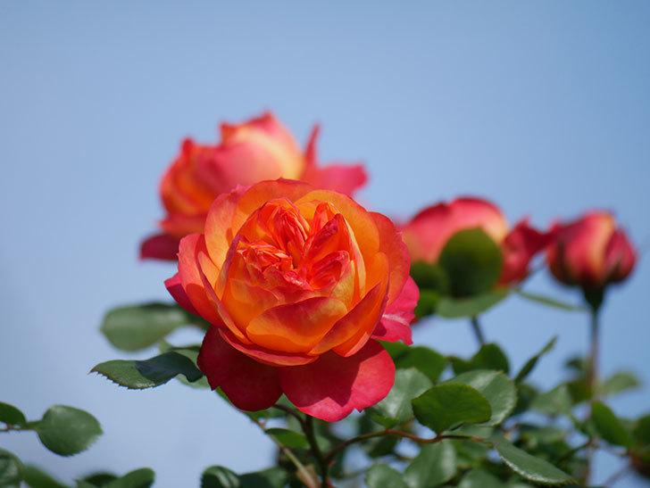 ソレイユロマンティカ(Soleil Romantica)の花が増えてきた。ツルバラ。2021年-054.jpg