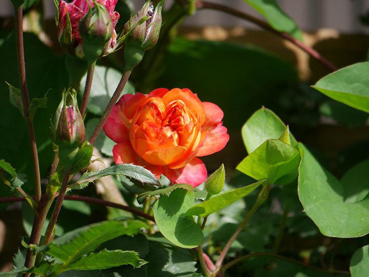 ソレイユロマンティカ(Soleil Romantica)の花が増えてきた。ツルバラ。2021年-058.jpg
