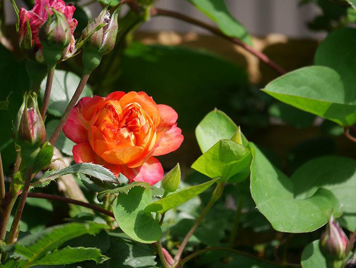 ソレイユロマンティカ(Soleil Romantica)の花が増えてきた。ツルバラ。2021年-059.jpg