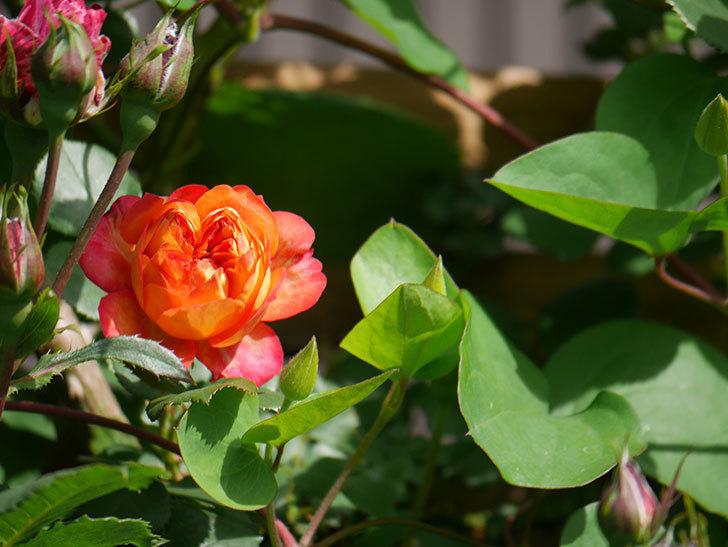ソレイユロマンティカ(Soleil Romantica)の花が増えてきた。ツルバラ。2021年-060.jpg
