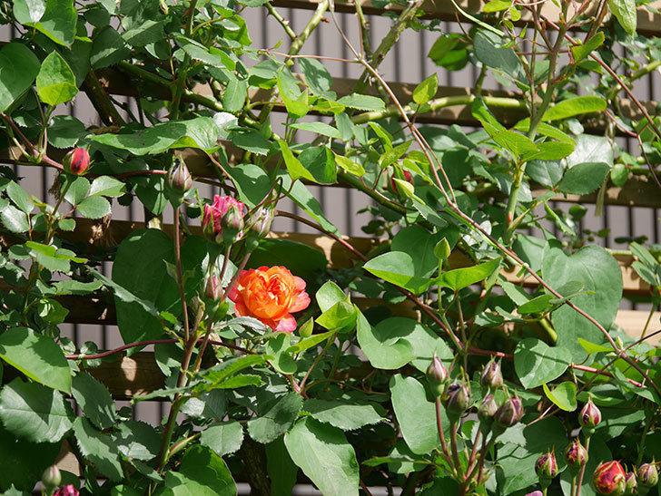 ソレイユロマンティカ(Soleil Romantica)の花が増えてきた。ツルバラ。2021年-061.jpg