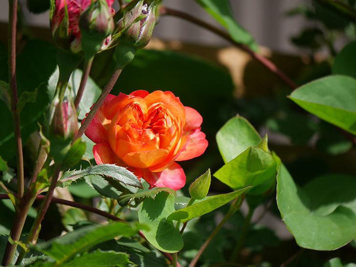 ソレイユロマンティカ(Soleil Romantica)の花が増えてきた。ツルバラ。2021年-062.jpg