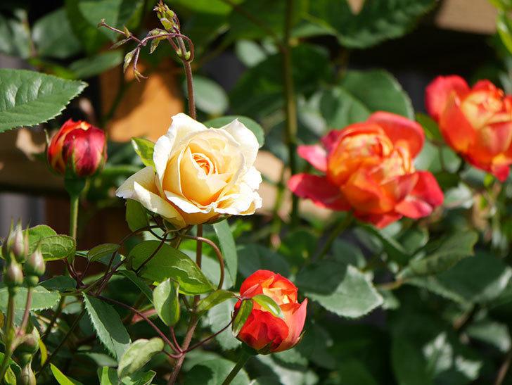 ソレイユロマンティカ(Soleil Romantica)の花が増えてきた。ツルバラ。2021年-063.jpg
